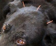 Βελονισμός σε ζώα- προφυλάξεις