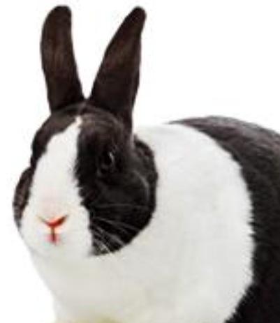 Κουνελι τησ ολλανδιασ – dutch rabbit – vets