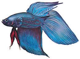ψαρι βεττα μονομαχος