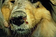 Μόρβα σκύλου. Ασθένεια μόρβα (Carre). Διάγνωση μόρβας. Συμπτώματα. Θεραπεία μορβας. Παπαϊωαννου Κτηνιατρικό Κέντρο. Κτηνίατροι - κτηνιατρικές κλινικές.